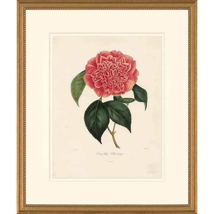 Berlese Camellias