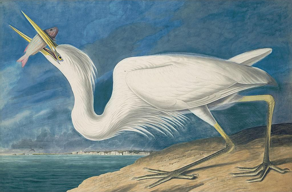 John James Audubon Plate 281, Great White Heron